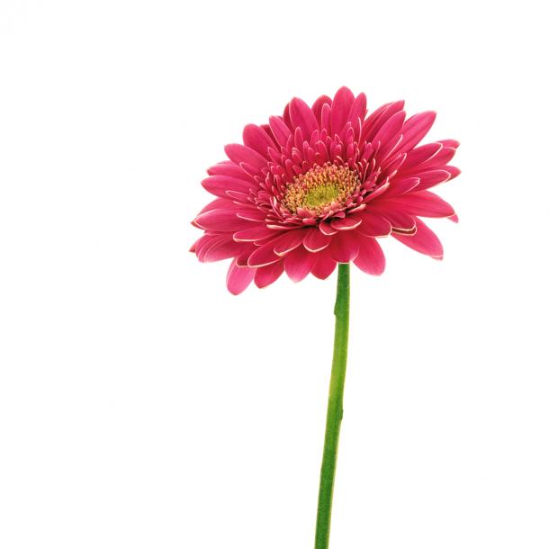 Gerbera - Durchsichtiger Fliesenaufkleber 15x15 cm
