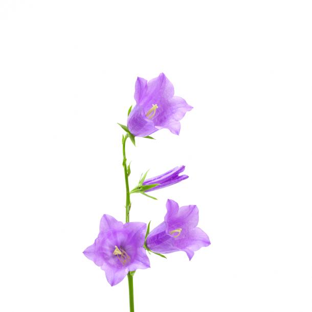 Glockenblume - Durchsichtiger Fliesenaufkleber 15x15 cm