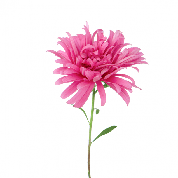 Pink bellis - Gennemsigtig flisesticker 15x15 cm