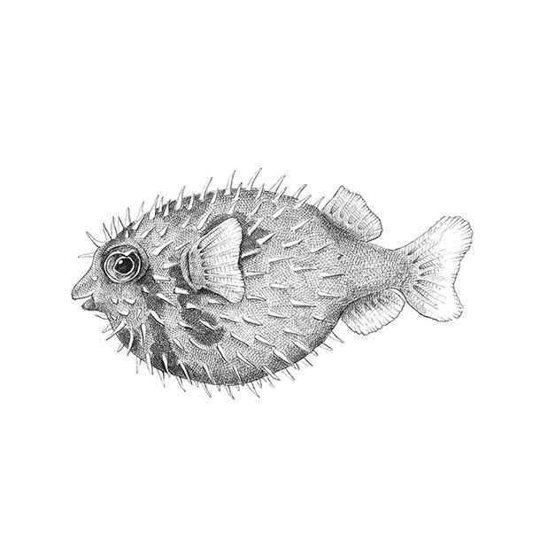 Pindsvinefisk - Gennemsigtig sticker 15x15 cm
